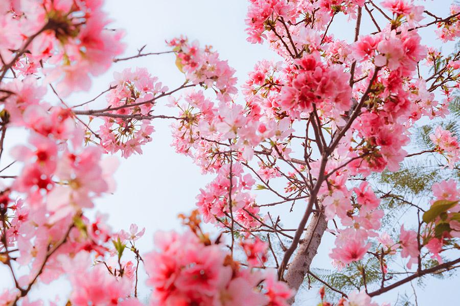 <span>旅行</span>櫻花